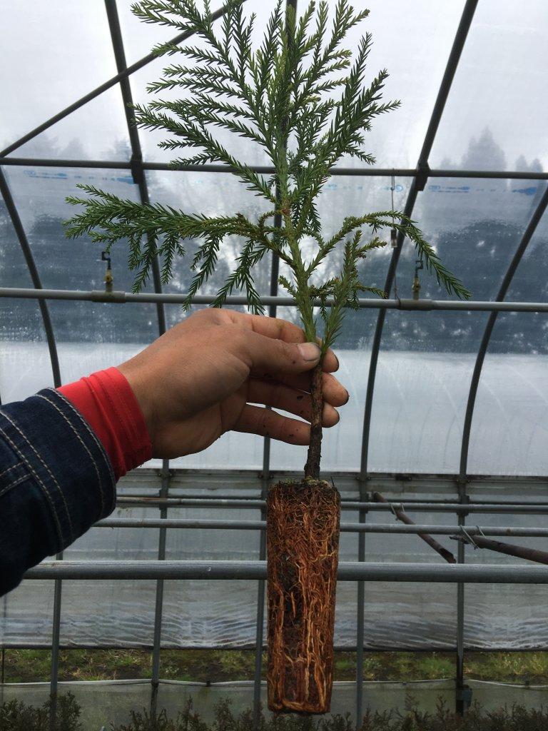スギコンテナ苗木の育苗の様子
